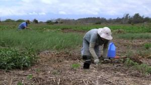 Watch HILT's video about their work on the Waihe'e Coastal Dunes and Wetlands Refuge here.