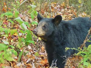 American Black Bear ~ Marc Evans, KNLT Senior Science Advisor